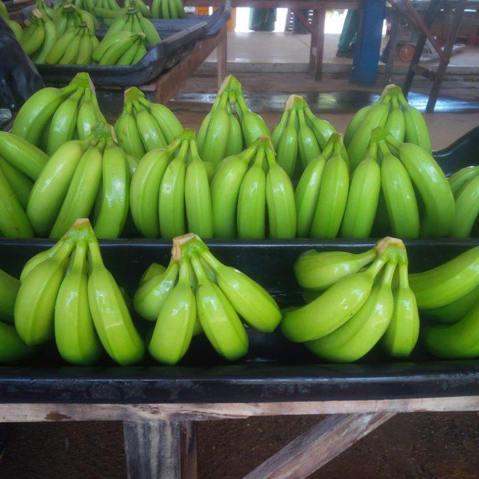 Banano Uraba Negocios 2