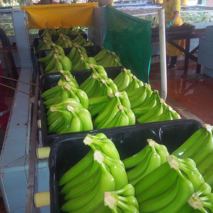 Banano Uraba Negocios 4